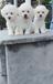 云南昆明买狗云南昆明卖狗纯种比熊照片价格