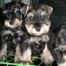 西双版纳哪里有卖纯种雪纳瑞小狗