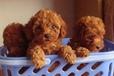 鹤庆纯种泰迪犬大概一只多少钱