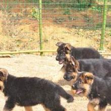 文山丘北县犬场长期卖德国牧羊犬德国牧羊犬什么价格