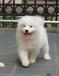 红河河口县卖萨摩耶幼犬犬场直销