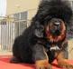 西藏藏獒犬什么价格西藏卖藏獒