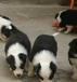 云南什么地方买狗、边境牧羊犬哪里有狗场出售
