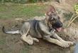 精宠养犬场有限宠物公司常年出售昆明犬