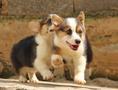 文山富宁县出售纯种柯基犬小狗柯基犬幼犬价格图片