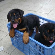 买狗网,宠物网,卖狗网