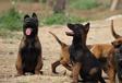 日喀则市犬场卖马犬日喀则市本地犬场卖马犬