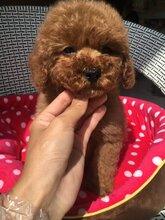 勐腊县买泰迪犬什么价格