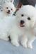 景洪市卖狗的地方景洪市本地狗场出售比熊