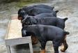 日喀则养犬场卖杜宾犬