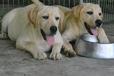 青岛卖拉布拉多幼犬包纯种