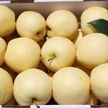 陕西砀山酥梨产地批发