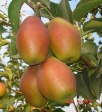 陜西冷庫酥梨價格便宜圖片