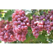 陜西紅提葡萄價格行情圖片