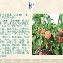 桃树,樱桃树,5公分枣树,杏树,柿树苗,核桃树,占地用,生态园用树上车价格