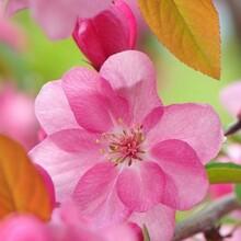 海棠花,3公分北美海棠,西府海棠,红宝石海棠