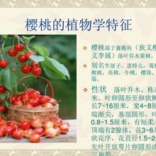 品种好当年结果樱桃树好管理,大樱桃树成活高