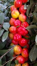 钙果树苗,关于钙果苗咨询我们,了解该果苗钙果苗新品种好钙果