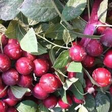 山西钙果苗基地出售山西农大钙果种苗2年苗当年结果钙果树苗