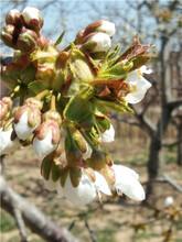 树要长得快结果早首选樱桃树苗,核桃树苗,桃树,李子树苗且好管理易成活