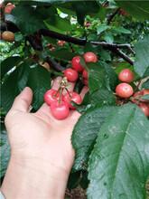 樱桃树,3公分樱桃树,5公分樱桃树,10公分樱桃树