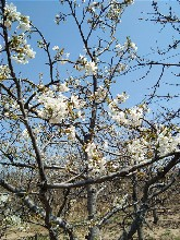 櫻桃樹種植管理技術,哪里有櫻桃苗,櫻桃樹圖片