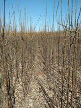 嫁接玉露香梨树苗,丰产期梨树,3公分梨树,2公分梨树图片