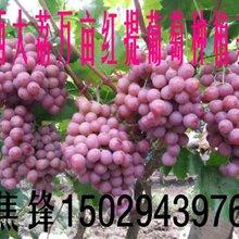 陕西红提葡萄行情红提葡萄价格图片