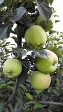 陜西嘎啦蘋果種植基地嘎啦蘋果產地供應價格行情圖片