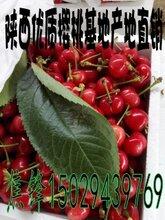 陕西樱桃种植基地红灯樱桃产地批发价格图片