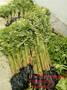 0.5公分香椿苗价格香椿苗什么价格香椿苗基地图片