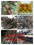 晚秋黄梨树苗哪里有卖的3公分梨树苗图片