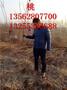 映霜红桃苗桃苗基地3公分4公分5公分桃树苗图片