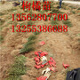 枸橘苗基地枳壳苗哪里多广西枳壳苗什么价格图片