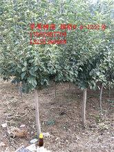 5公分苹果树6公分苹果树哪里卖五公分六公分苹果树价格图片