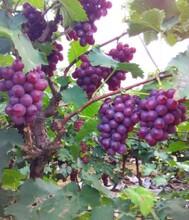 供應套袋巨峰葡萄圖片