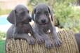 出售精品德国威玛猎犬幼犬公母都有支持空运