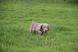 ??谟匈u德國威瑪獵犬的犬舍嗎魏瑪家園犬舍支持全國空運