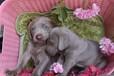 出售宠物狗狗双血统德国魏玛宝宝找新家