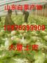 今日白菜市场行情山东白菜价格大棚白菜批发基地图片