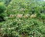油桐的种植开发
