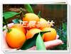 脆蜜金柑苗去哪里买