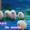三个月赛级博美犬球体纯种博美价格北京市博美犬舍