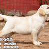 北京拉布拉多犬出售纯种双血统拉布拉多卖多少钱一只