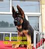 售锤系德国牧羊犬超高品质英俊帅气