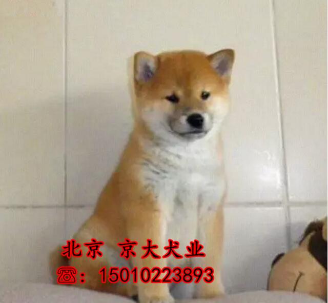 北京出售CKU冠军血统柴犬,疫苗齐全