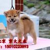 正宗日本纯种柴犬纯血双冠日系柴犬健康合同保障