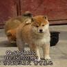 纯种柴犬柴犬幼犬柴狗日本柴犬幼犬