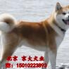 北京哪里有卖秋田犬秋田犬多少钱秋田犬好养吗