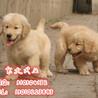 北京哪里有金毛金毛犬怎么卖金毛犬价格